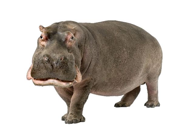 30 Years Old Hippopotamus Amphibius
