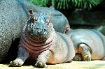 Cute Hippopotamus Calf Next To His Mother
