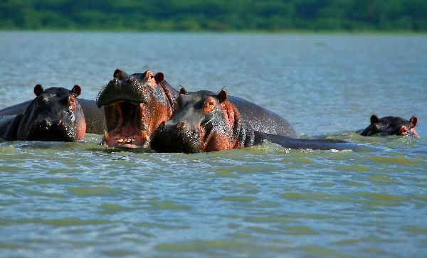 Family Of Hippopotamuses On Lake Naivasha Kenya