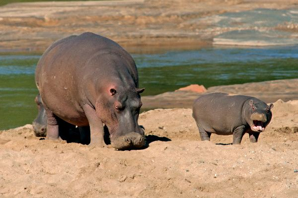 Female Hippopotamus With Young Calf