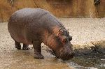 Hippopotamus At Zoo