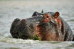 Hippopotamus Eating At Naivasha Lake Kenya