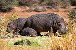 Hippopotamus Family In Namibia
