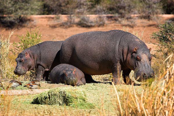 Hippopotamus Family In Namibia