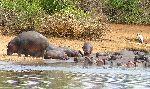 Hippopotamus Herd Resting