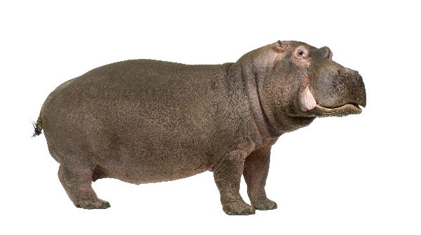 Hippopotamus In White Background