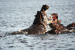 Male Hippopotamus Fighting