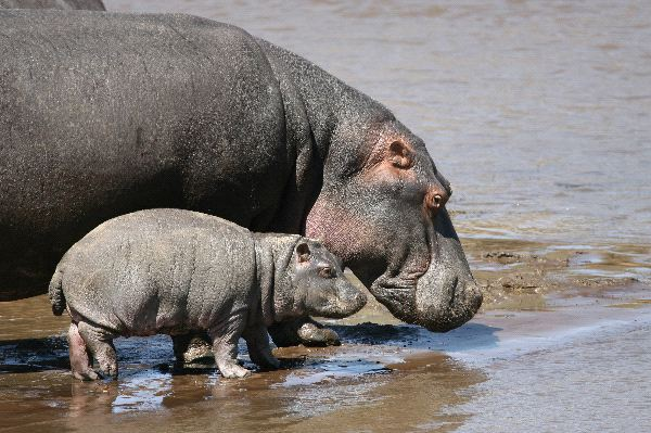 Mother and Calf Reaching the River Bank