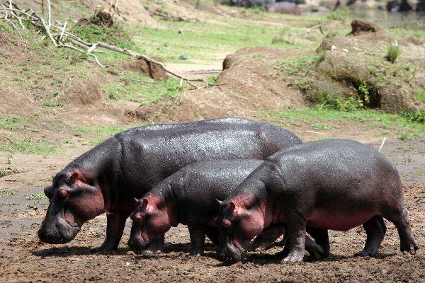 Three Hippopotamuses Walking