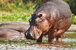 Hipopótamo Salvaje Refrescándose En Agua Dulce