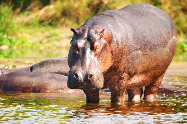 Wild Hippopotamus In Nile River