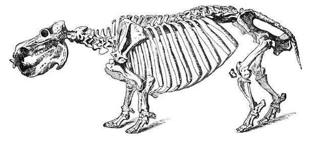 Anatomía interna de un hipopótamo.