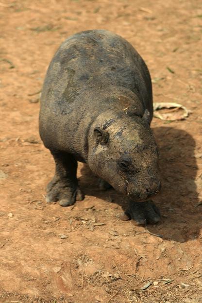 Hábitos reproductivos de los hipopótamos.