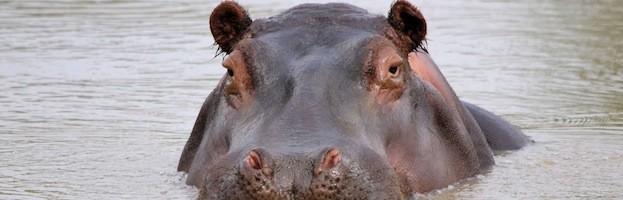 Hippopotamus Information
