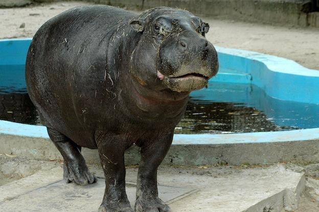 Pygmy Hippopotamus characteristics