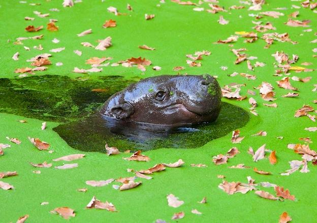 Características del hipopótamo pigmeo.