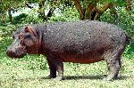 wild Hippopatamus Out of Water