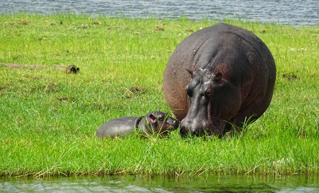 hippopotamus diet - what does a hippo eat