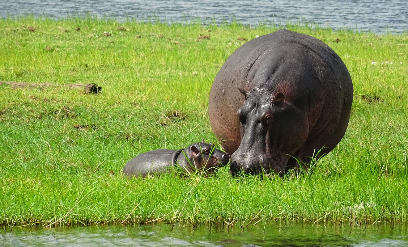 hippopotamus diet - what does a hippo eat?