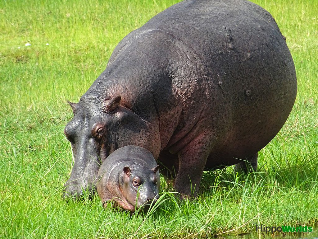 Do hippos have pink milk?