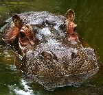 Close Details of a Large Hippopotamus