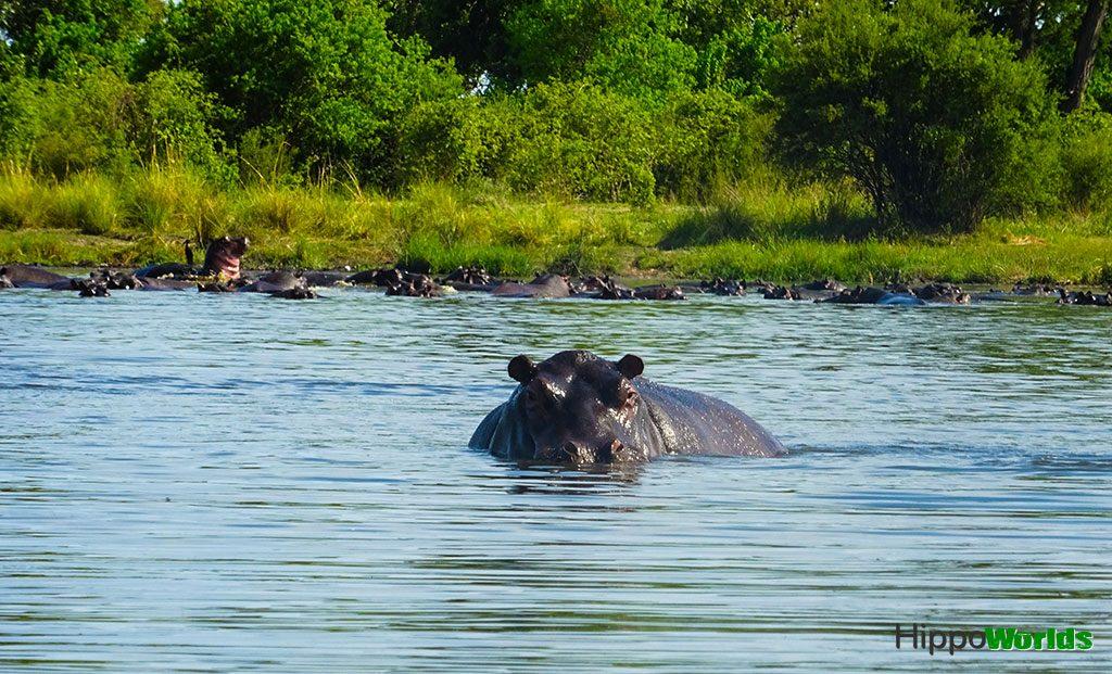 Habitat de los Hipopótamos comunes