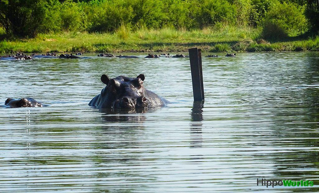 hipopótamos factos