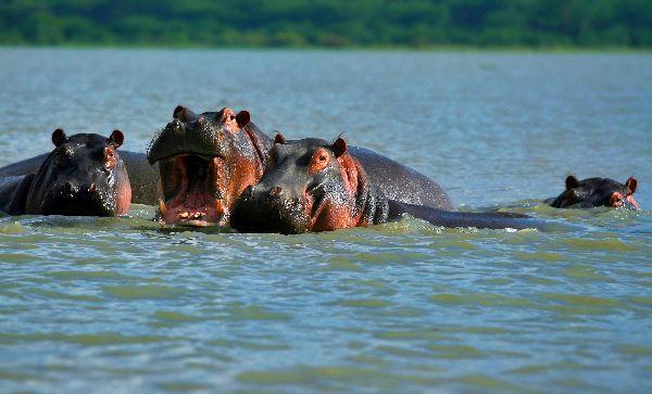 Familia_de_hipopotamos_en_lago_Naivasha_600