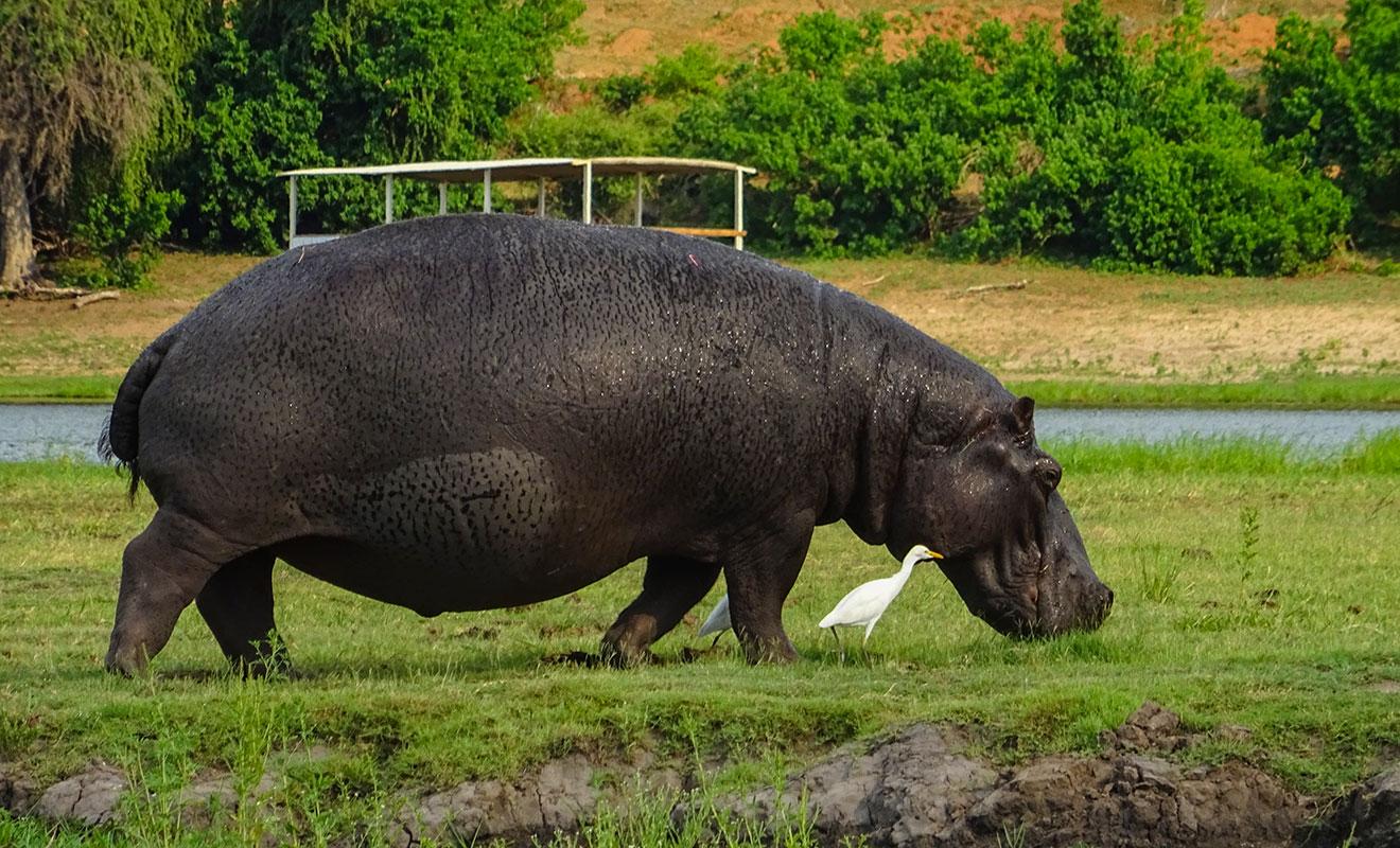 Alimentación de los Hipopótamos - qué comen los hipopótamos
