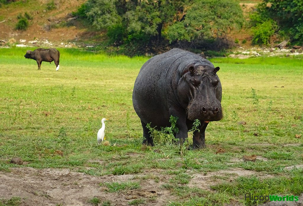 hippo diet - hippo eating - What hippos eat?