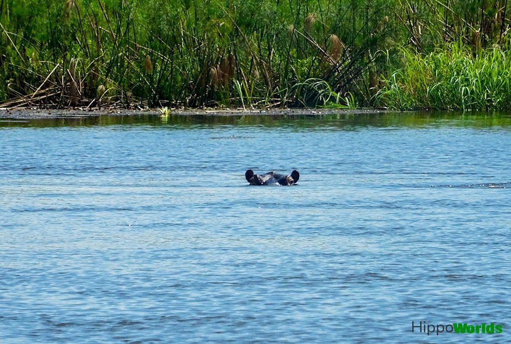 habitat of hippopotamus - Where do hippos live?