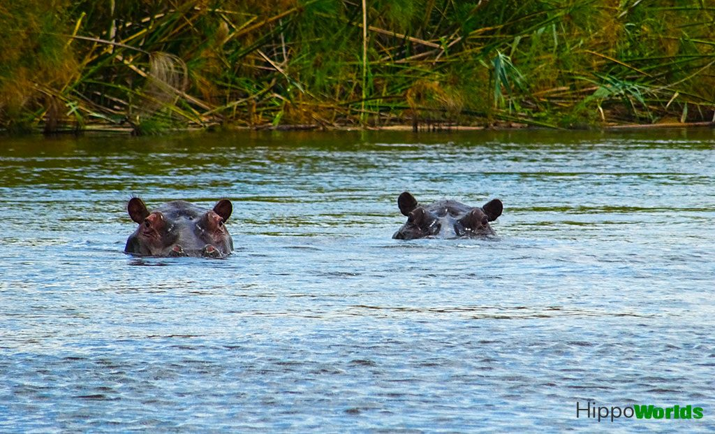 datos hipopotamos datos