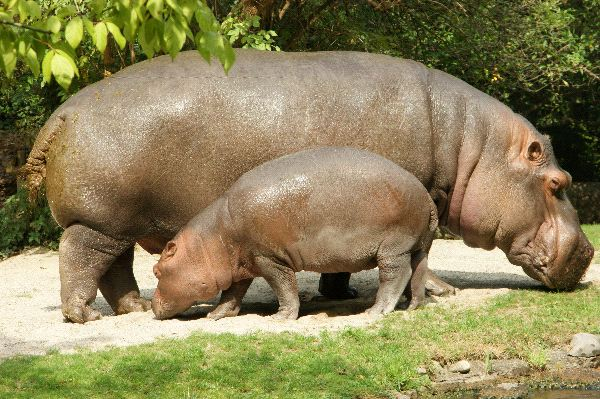 Hippopotamus Mother And Calf In Captivity