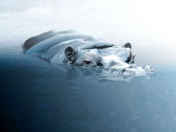 Hippopotamus Peering Out Of Water