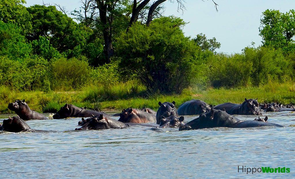 Curiosidades sobre os hipopótamos - fatos sobre os hipopótamos
