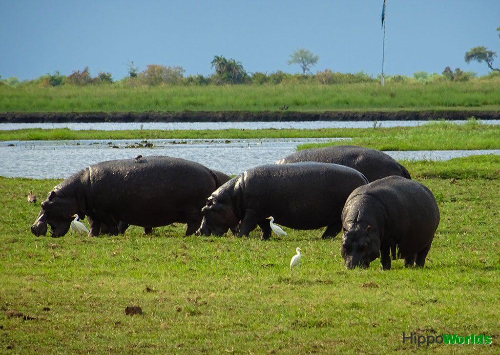 fatos sobre hipopótamos