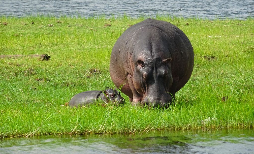 Mother hippo and calf