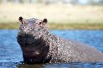 Small Pygmy Hippopotamus