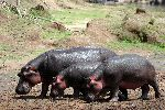 Three Hippopotamuses Walking