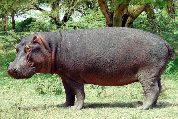 Características anatómicas de un hipopótamo común.