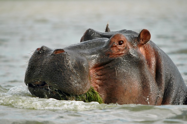 What do hippos eat?