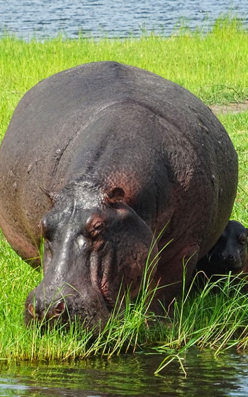 Baby-hippo-with-mother