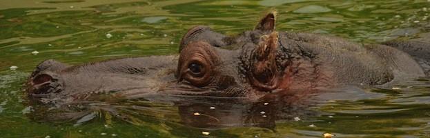 Especies de Hipopótamo