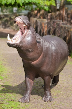 Interesting and fun Facts about Hippos