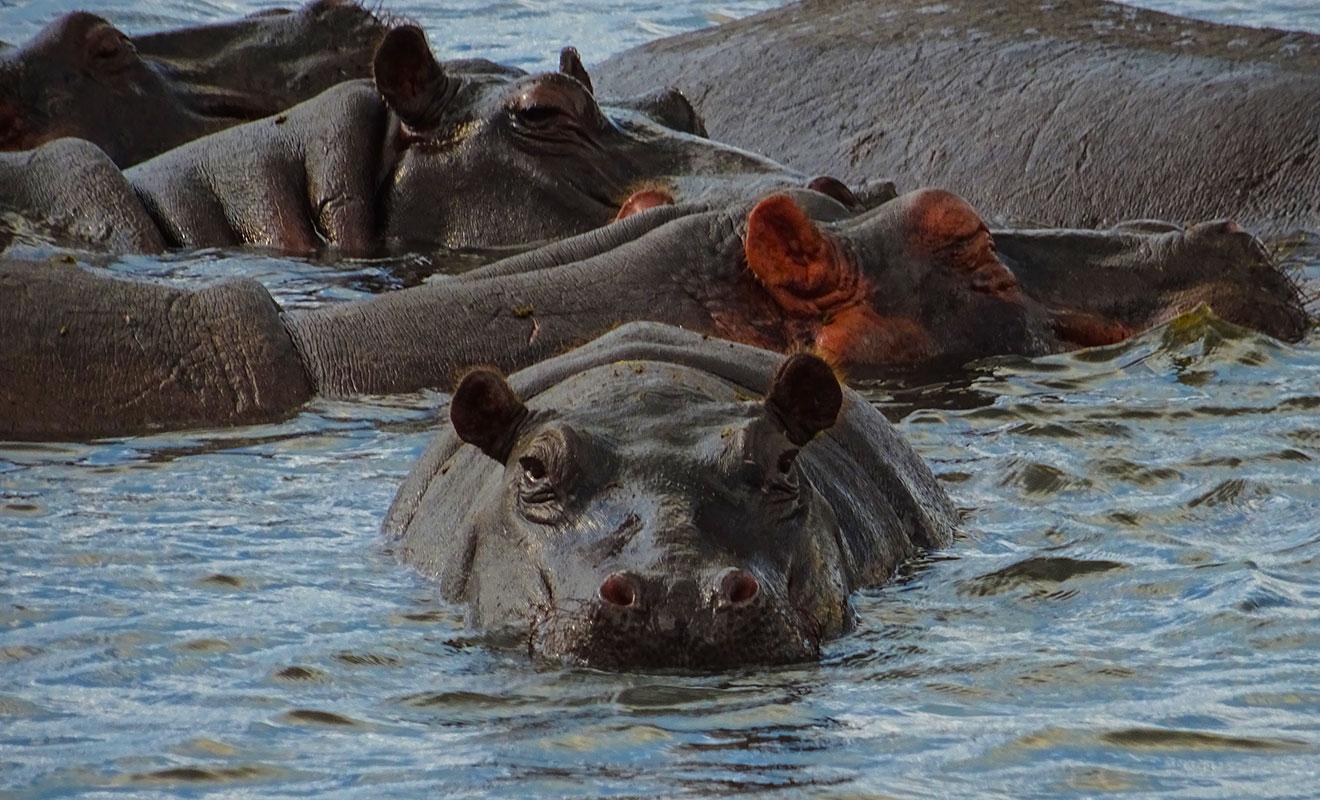 De que se alimenta el hipopotamo