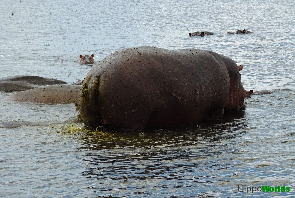 Hippo a marcar território - fatos sobre hipopótamos