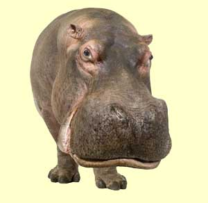 top hippo facts